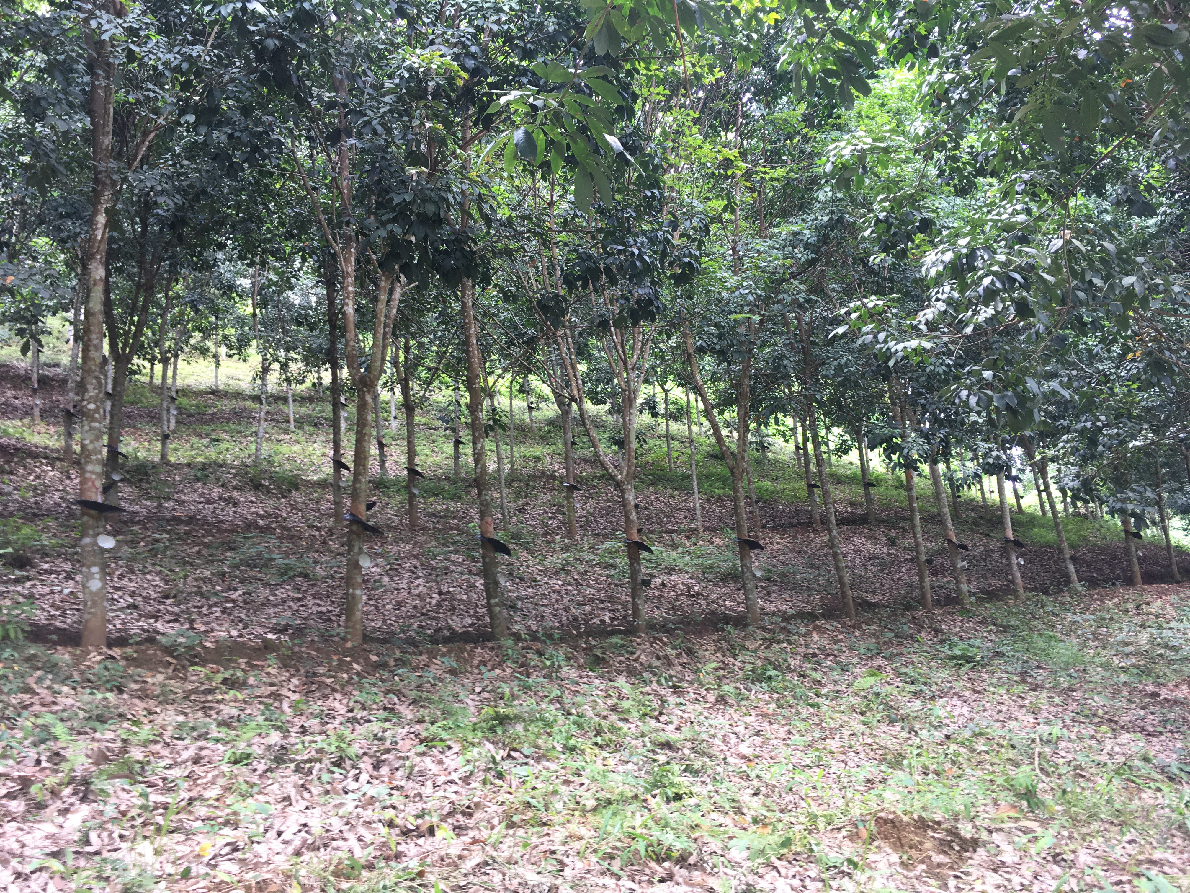 Forest of rubber trees